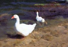 Geese stock photos