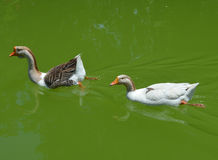Geese on pond Royalty Free Stock Photo