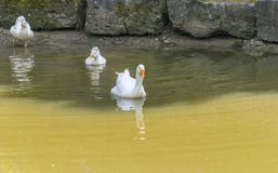Geese in a pond royalty free stock photography