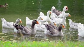 Geese at the pond. In summer time stock footage
