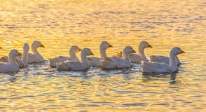 Geese on the pond at sunset. stock photo