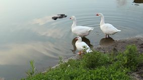 Geese by the pond stock video footage