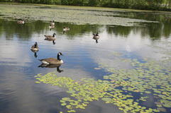 Geese in Pond Royalty Free Stock Photography