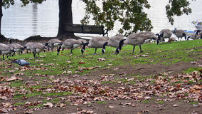 Geese Portland. Flock of geese in Portland, Oregon Royalty Free Stock Photo