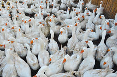 Geese poultry Stock Images