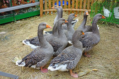 Geese on a poultry yard Stock Photo