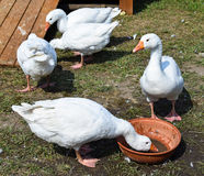 Geese in the poultry yard Royalty Free Stock Photography