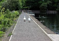 Geese at Reddish Vale Stock Image