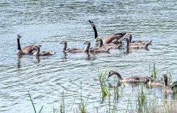 Geese relax in a beautiful Michigan lake Royalty Free Stock Photo