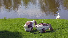 Geese resting on green grass in sunny day stock video