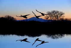 Geese and Riparian Reflection stock image