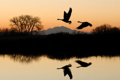 Geese and Riparian Reflection royalty free stock photo