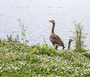 Geese on the river bank Royalty Free Stock Images