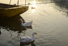 Geese, River and Boat Stock Photo