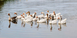 Geese on the river stock photography