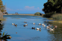 Geese in river front of the sea. National Park Olimpos Beydaglari. The ancient city of Olympos and its surroundings. river meets the sea-river delta Royalty Free Stock Images