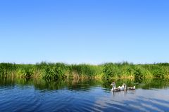Geese on river landscape Royalty Free Stock Photo