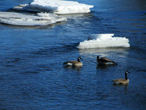 Geese in a River. This is geese on a river one early spring day here in Wisconsin out in the country Royalty Free Stock Photos