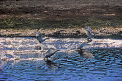 The geese on the river run. The detail of the nature, the river that runs through the village with geese on the river run Stock Photography