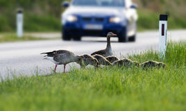Geese on the road Stock Photography