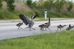 Geese on the road Stock Photos
