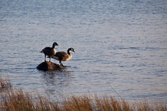 Geese on a Rock Stock Images