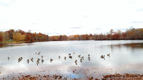 Geese at Roger Williams park. Geese on a Fall day Royalty Free Stock Photos