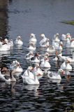 Geese in Romania. Geese swimming on Neajlov River, southern Romania royalty free stock photos