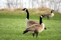 Geese. At rookery park on the Wisconsin river in Wausau Royalty Free Stock Photos
