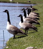 Geese in a Row. Looking at the water Stock Photo