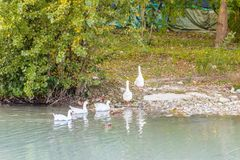 Geese in a row exiting from the river Royalty Free Stock Photo