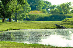 Geese in a row. Geese on lake swimming toward shore in a row Stock Photos