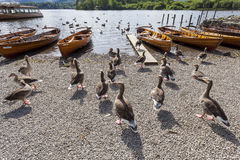 Geese and Rowing boats on shore of Derwent Water, Keswick. Stock Images