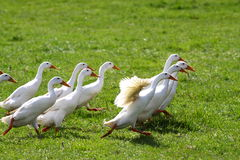 Geese running Stock Images