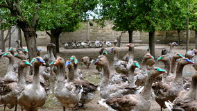 Geese on a rural farm stock video footage