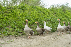 Geese on rural road Royalty Free Stock Images