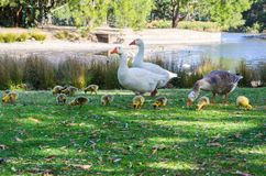 Geese`s family with a bunch of their baby walking in Centennial Park, Sydney, Australia. A Geese`s family with a bunch of their baby walking in Centennial Park stock photography