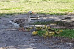 Geese`s family with a bunch of their baby walking in Centennial Park, Sydney, Australia. A Geese`s family with a bunch of their baby walking in Centennial Park royalty free stock photography