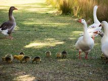 Geese`s family with a bunch of their baby walking near the lake at the Centennial Park, Sydney, Australia. A Geese`s family with a bunch of their baby walking stock photos