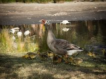 Geese`s family with a bunch of their baby walking near the lake at the Centennial Park, Sydney, Australia. A Geese`s family with a bunch of their baby walking stock image