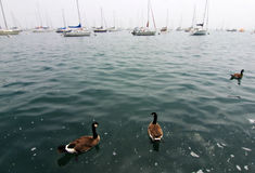 Geese and Sailboats on a lake Royalty Free Stock Photography