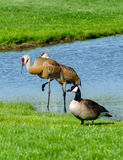 Geese and sand-hill cranes Stock Image