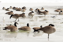 Geese and Seagulls on Ice Royalty Free Stock Photos