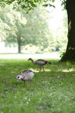 Geese searching for food Royalty Free Stock Photo