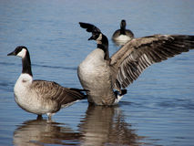 Geese In Shallow Water. Geese along the shore with one standing in shallow water, one feeding off the bottom and a third swimming in the distance Royalty Free Stock Photography
