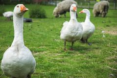 Geese And Sheep Royalty Free Stock Photography