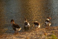 Geese on the shore of a lake. Geese on the shore of a lake preparing for a new day stock images