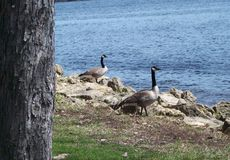 Geese On The Shore Royalty Free Stock Photography