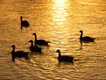 Geese Silhouette Stock Photography