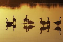 Geese Silhouette Sunset. Silhouette of geese in the setting sun Stock Photo